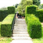 English Yew trimmed hedging versus hedging not trimmed