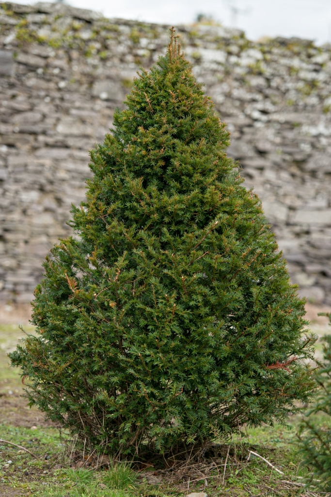 English yew trees for sale english yew tree 39 s for sale for Garden yew trees