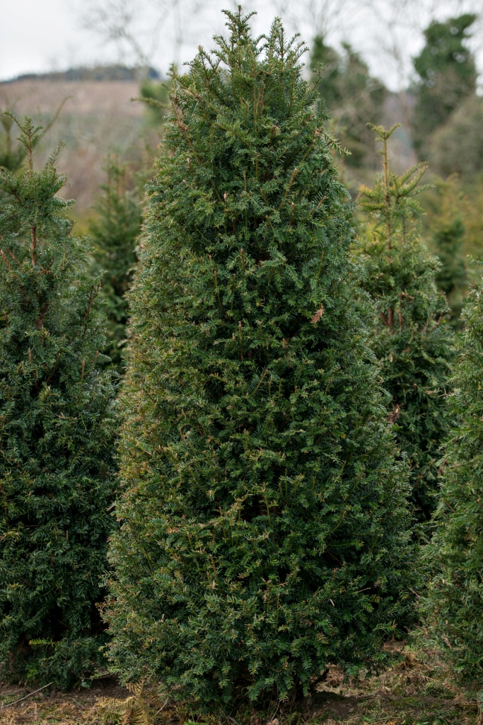 English Yew Trees For Sale English Yew Tree S For Sale