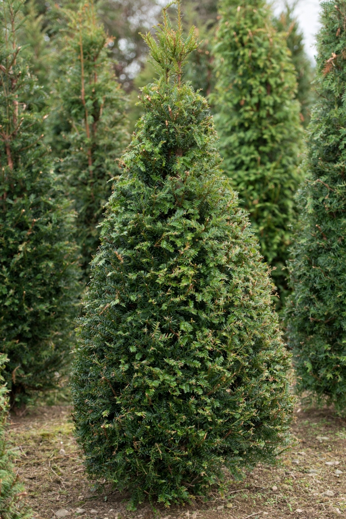 English yew trees for sale english yew tree 39 s for sale for Trees for sale